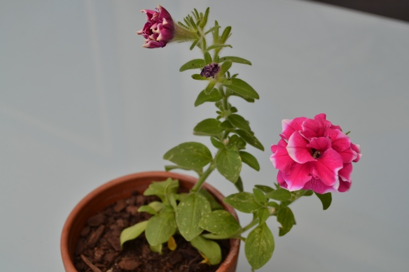 - My flowering petunia that was a gift from a work colleague -